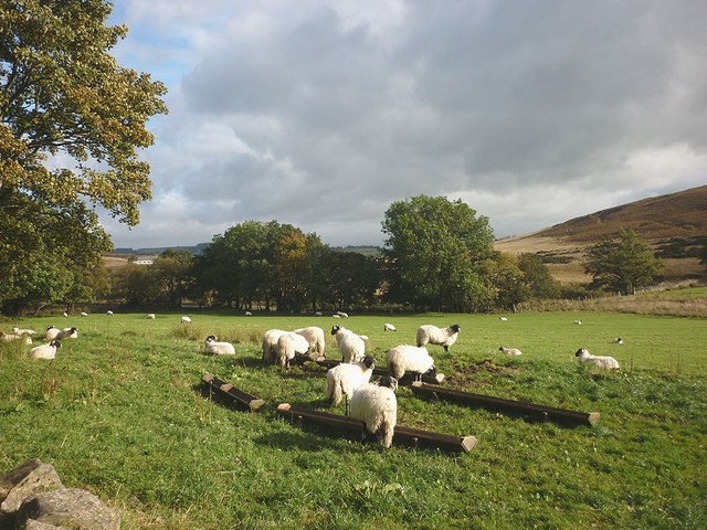 Lambs grazing in Swaledale in Northern England in 2012. Photo licensed under CC-BY-SA.