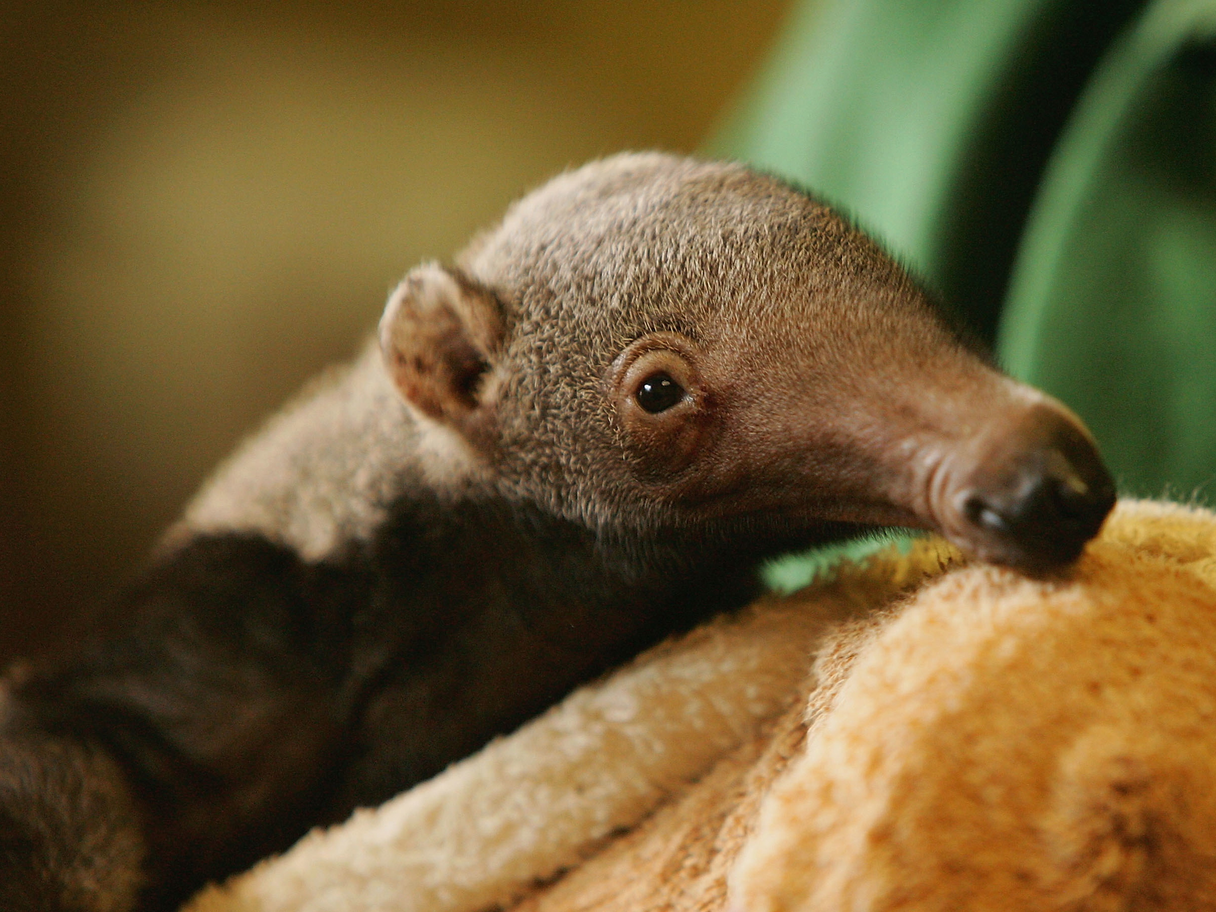 A baby giant anteater at the London Zoo in 2005.