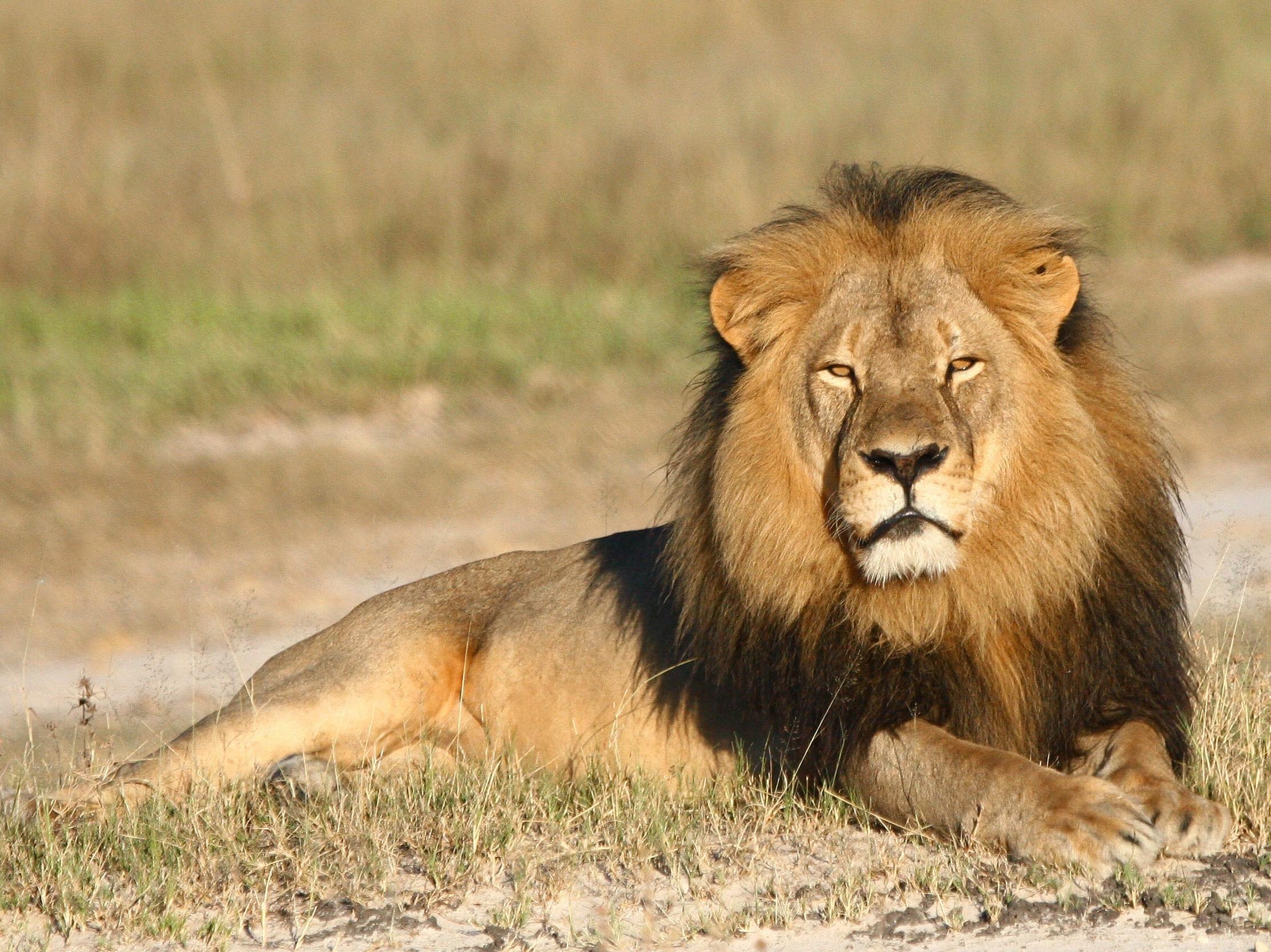 Zimbabwe Lion Killed