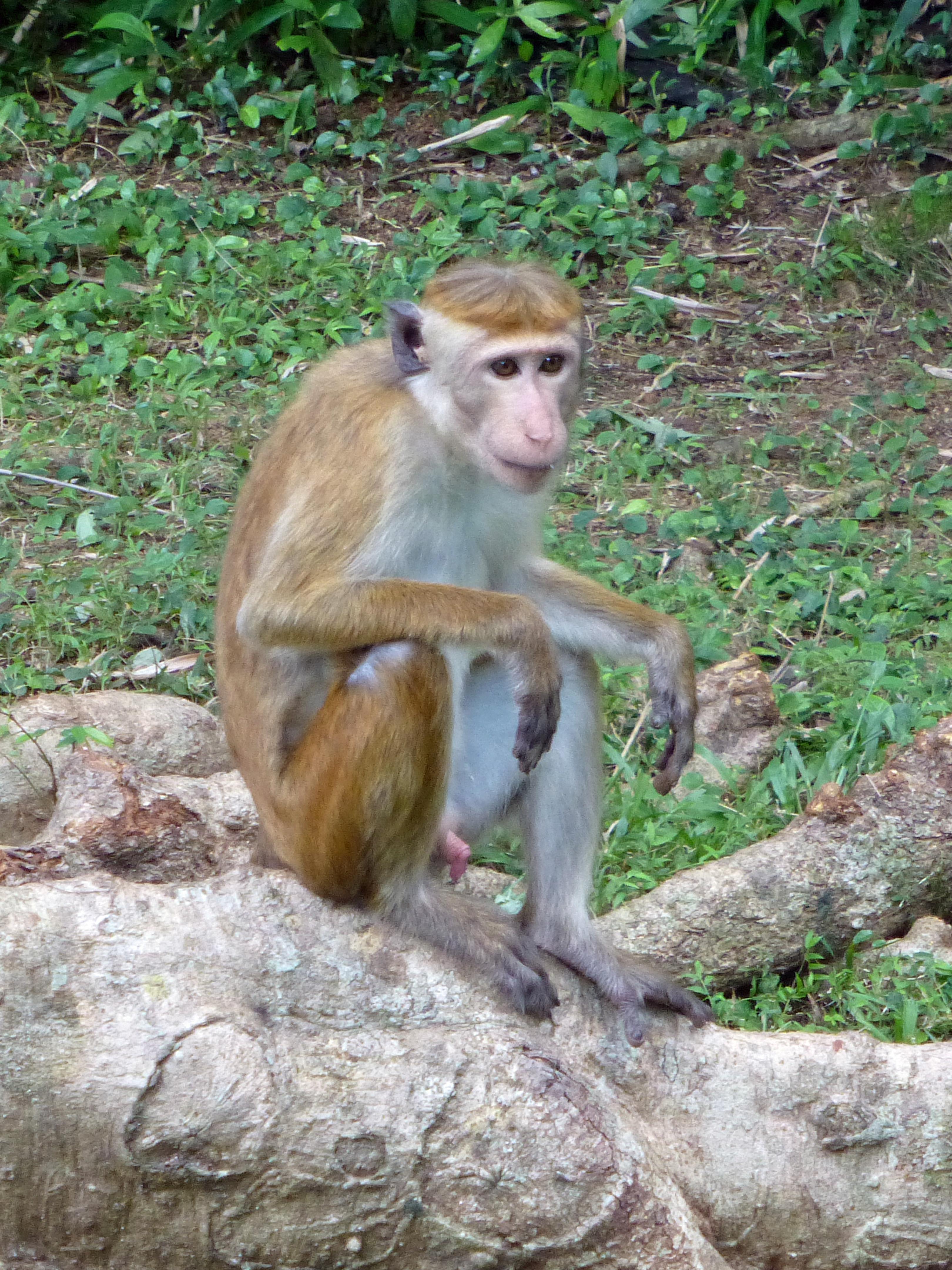 Macaca_sinica-Sigiriya_Village-Sri_Lanka_(3)
