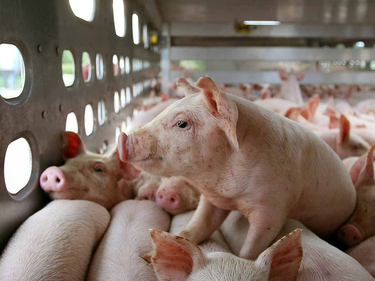 The price of pork: Cheap meat comes at high cost in Illinois