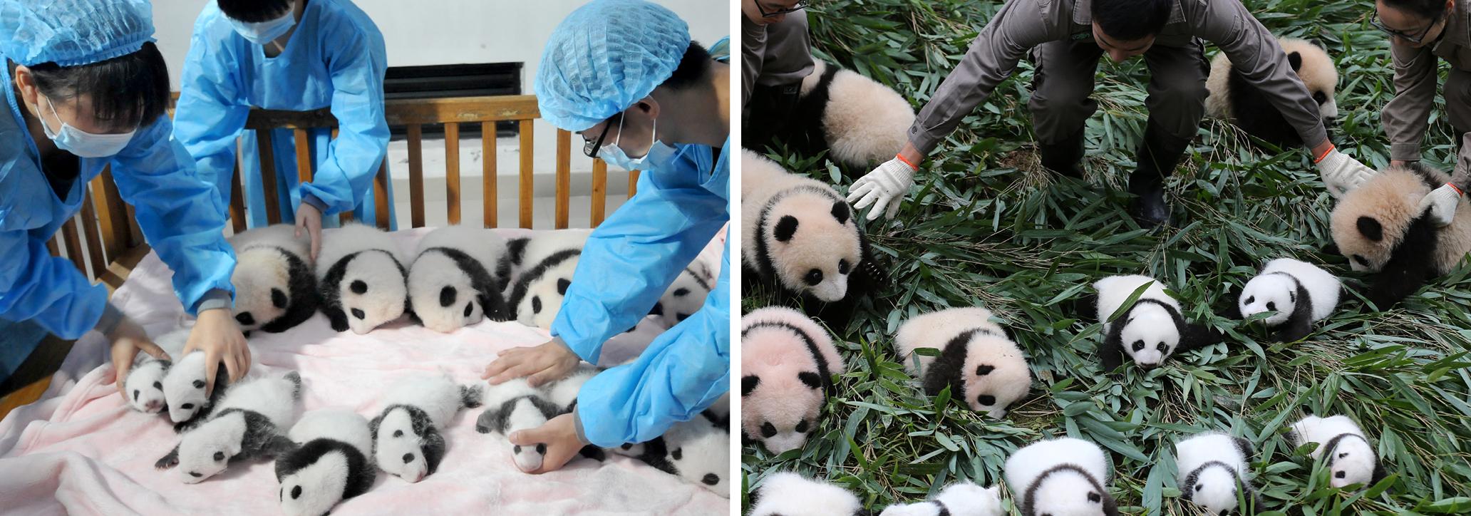 Sperm harvesting panda galleries 808