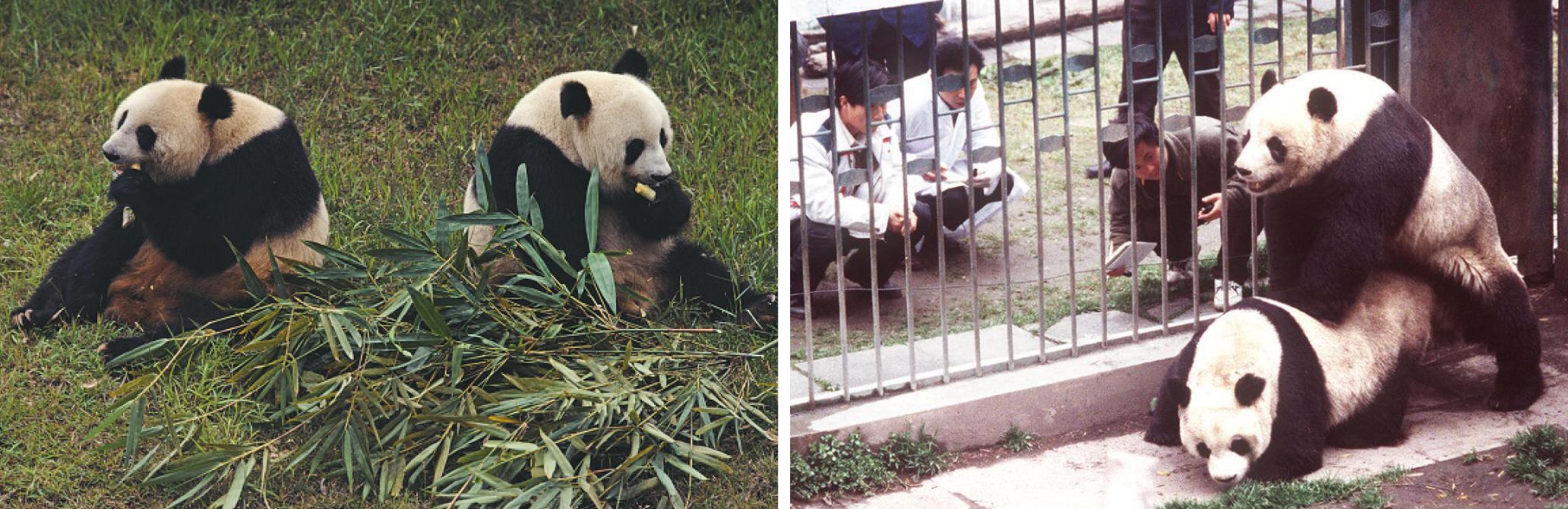 Sperm harvesting panda galleries 384