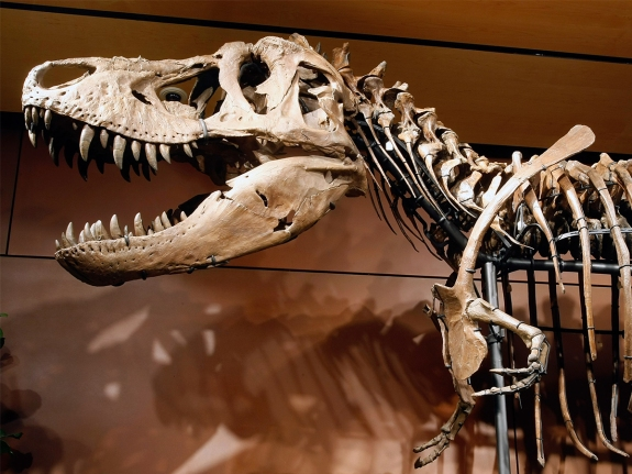 Tyrannosaurus Rex Skeleton To Be Auctioned Off In Las Vegas